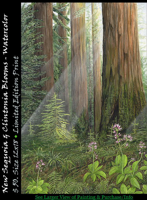 Coastal Redwoods, New Sequoia and Clintonia Blooms